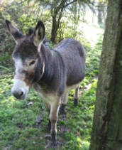 Photo of donkey as basis for etching